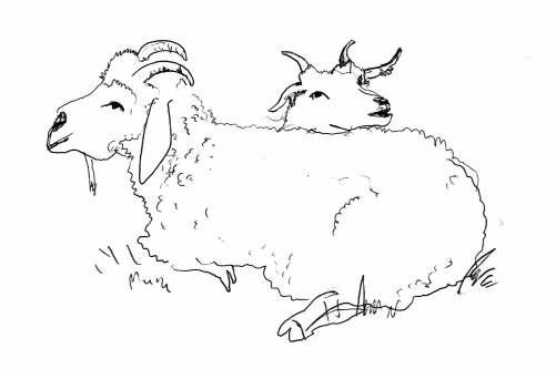Durfte Silkes Ziegen für Übungszwecke zeichnen: Hier Clara und ihr kleines.